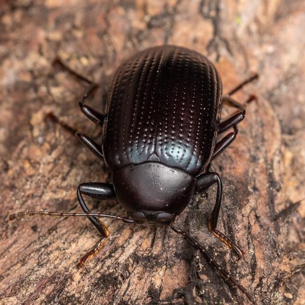 Darkling beetle (Amarygmus watti). Kauri Loop Walk, Hakarimata Range.