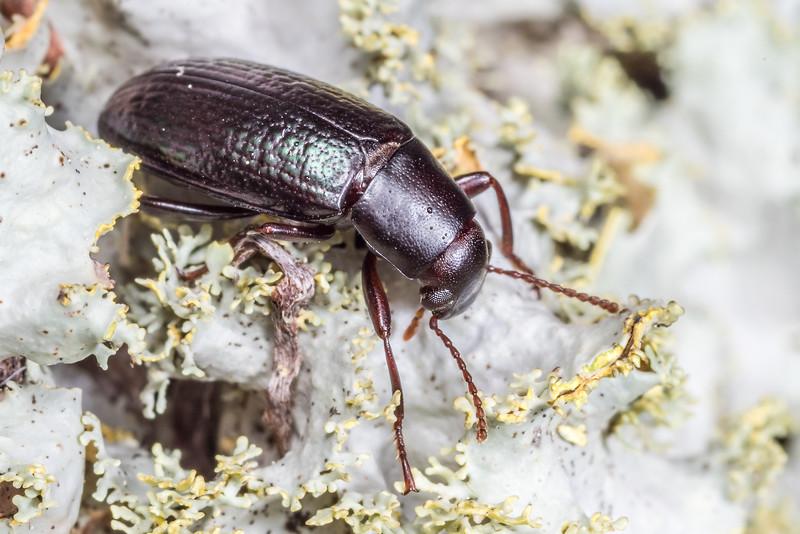 Lichen darkling beetle (Artystona erichsoni) adult male. St Arnaud, Nelson Lakes National Park,