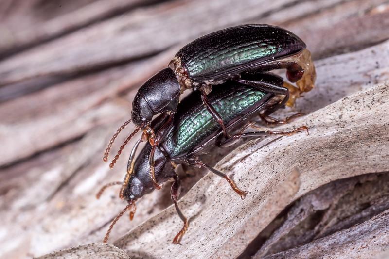 Lichen darkling beetle (Artystona erichsoni) copulating. St Arnaud, Nelson Lakes National Park,