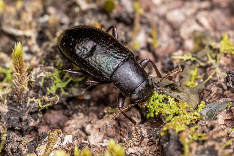Lichen darkling beetle (Artystona erichsoni). Richmond Saddle. Richmond Range, Marlborough.