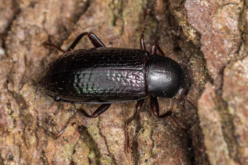 Lichen darkling beetle (Artystona erichsoni). Sledge track, Palmerston North, Manawatū.