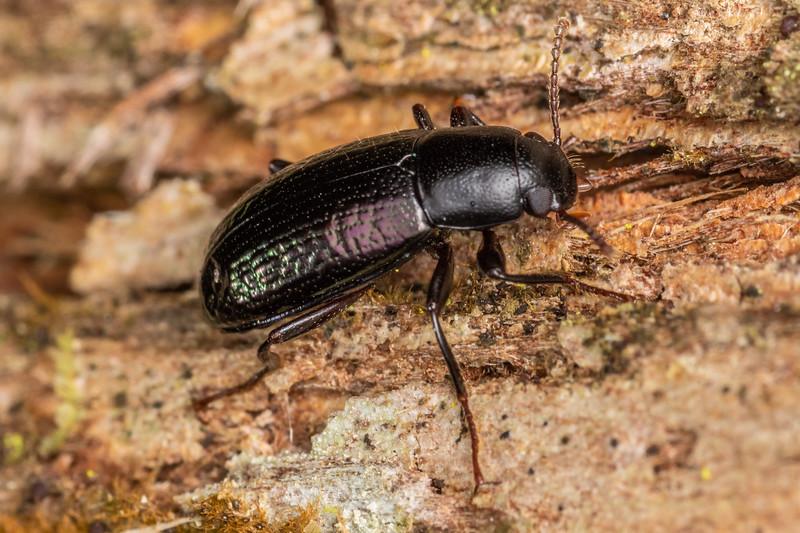 Lichen darkling beetle (Artystona erichsoni). Waipu Caves Track, Northland.