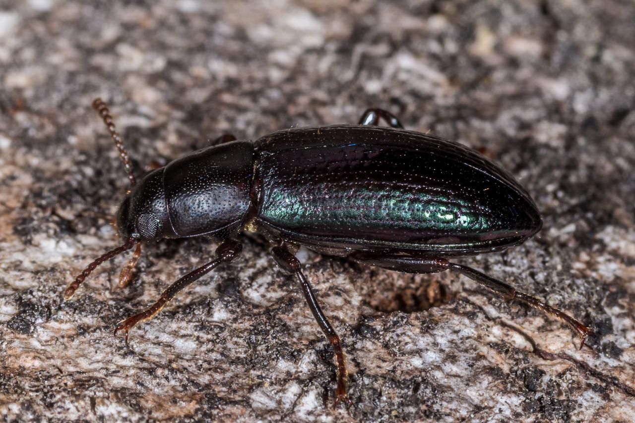 Lichen darkling beetle (Artystona erichsoni). Awapoto Hut, Abel Tasman National Park.