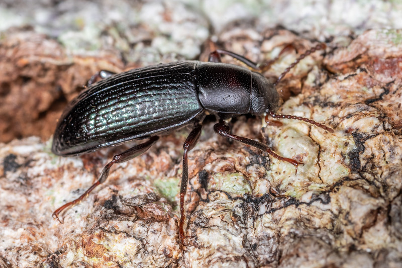 Lichen darkling beetle (Artystona erichsoni). <br /> Lake Alabaster, Fiordland National Park.