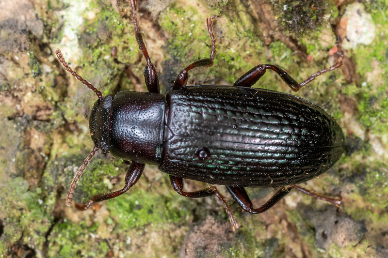 Lichen darkling beetle (Artystona erichsoni). Mohi Bush, Havelock North.