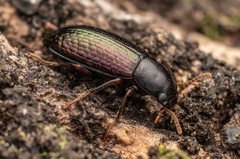 Lichen darkling beetle (Artystona erichsoni). Matamataharakeke Track, Coromandel.
