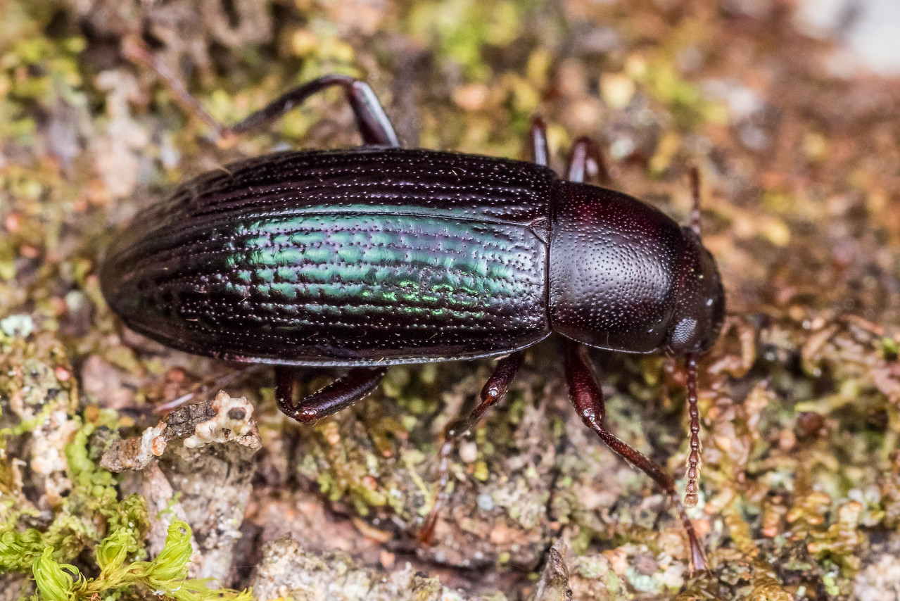 Lichen darkling beetle (Artystona erichsoni) adult female. St Arnaud, Nelson Lakes National Park,