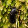 Lichen darkling beetle (Artystona obscura). Matukituki River East BRanch, Mount Aspiring National Park.