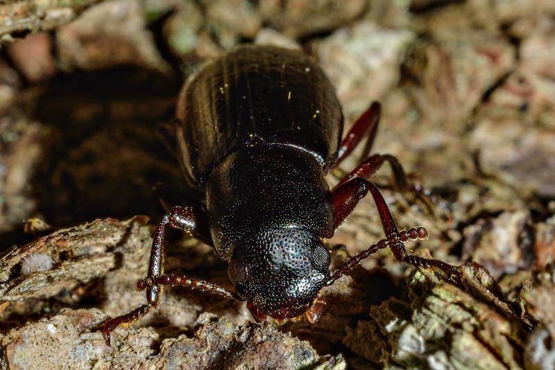 Lichen darkling beetle (Artystona obscura). Caples River, Mount Aspiring National Park.