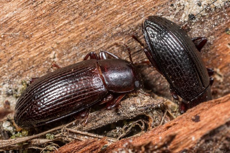 Lichen darkling beetle (Artystona obscura). Deep Stream, Otago.