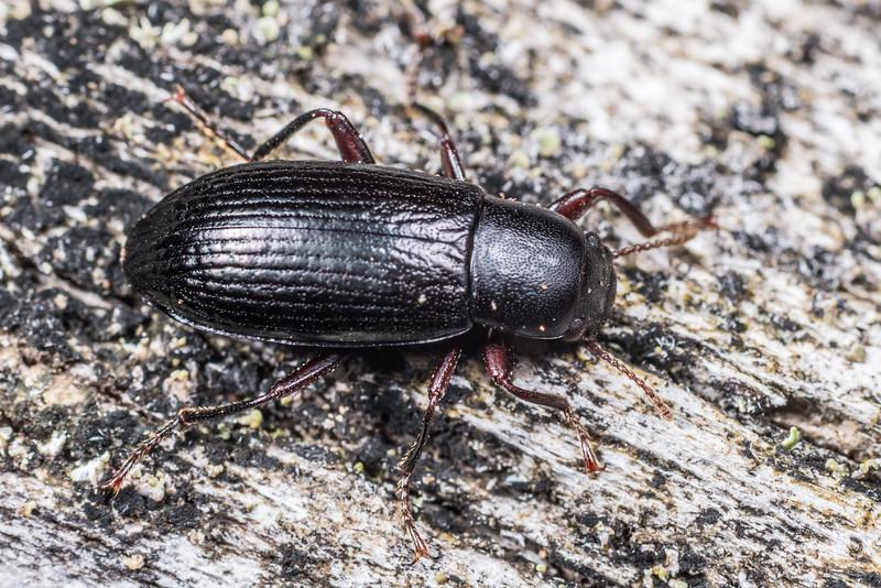 Lichen darkling beetle (Artystona obscura). Port Craig, Fiordland National Park.