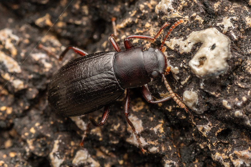 Lichen darkling beetle (Artystona obscura). Mount Somers, Canterbury.