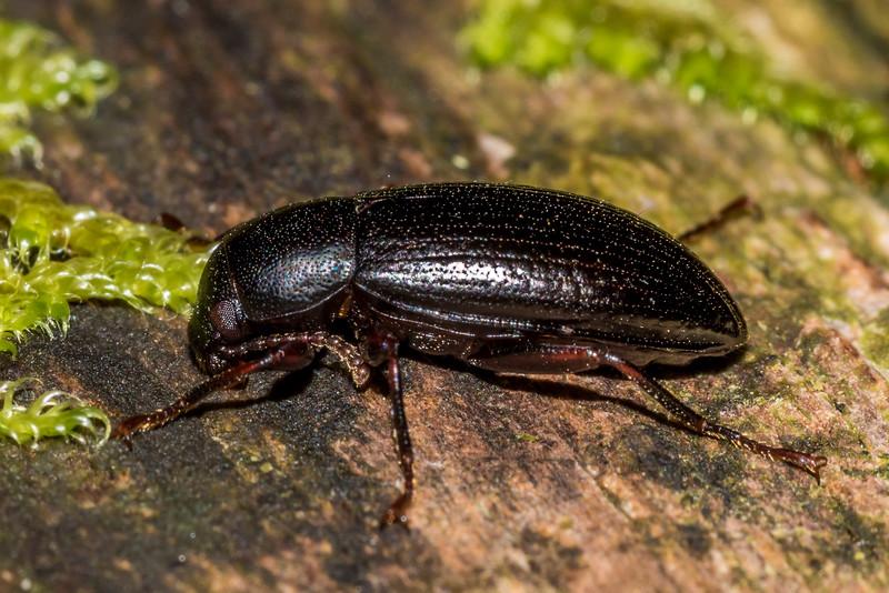 Lichen darkling beetle (Artystona obscura). Raspberry Flat, Matukituki River West Branch.