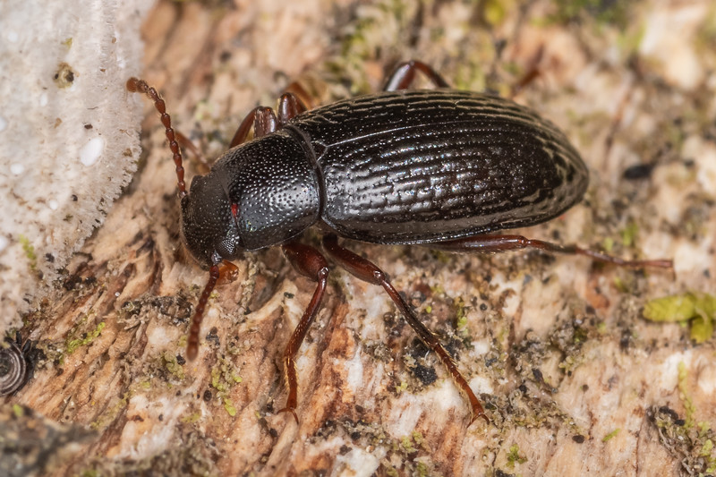 Lichen darkling beetle (Artystona rugiceps). Nydia campsite, Nydia Bay, Marlborough Sounds.