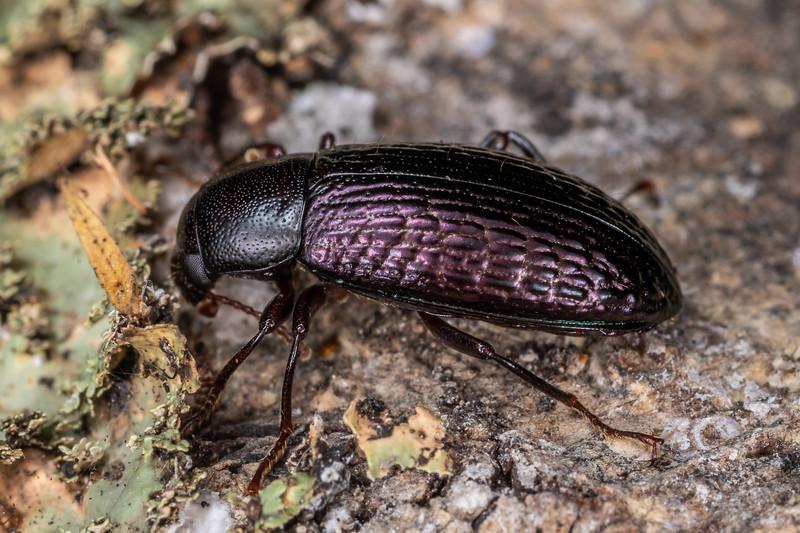 Lichen darkling beetle (Artystona wakefieldi). Tangihgua Forest Nature Walk, Whangarei, Northland.