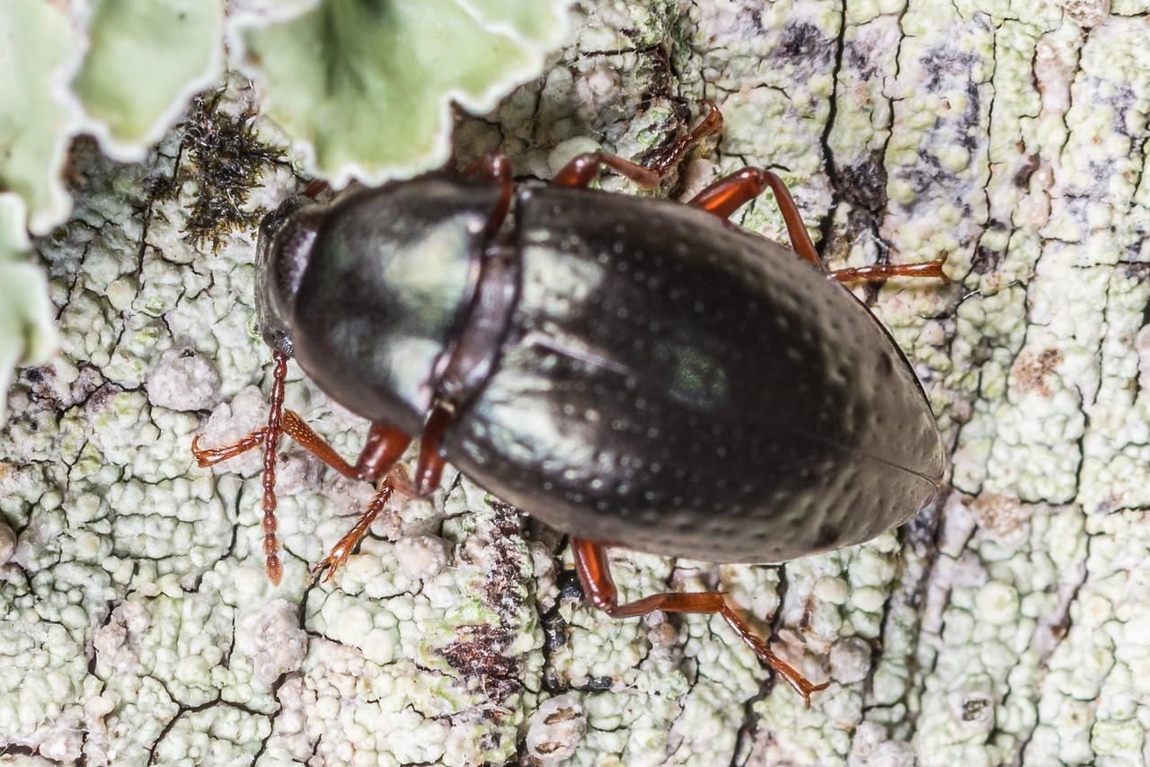 Darkling beetle (Cerodolus chrysomeloides). Lake Monk, Fiordland National Park.