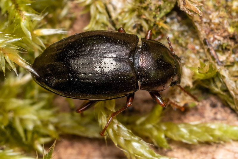 Darkling beetle (Cerodolus chrysomeloides). Cozette Burn, Fiordland National Park.