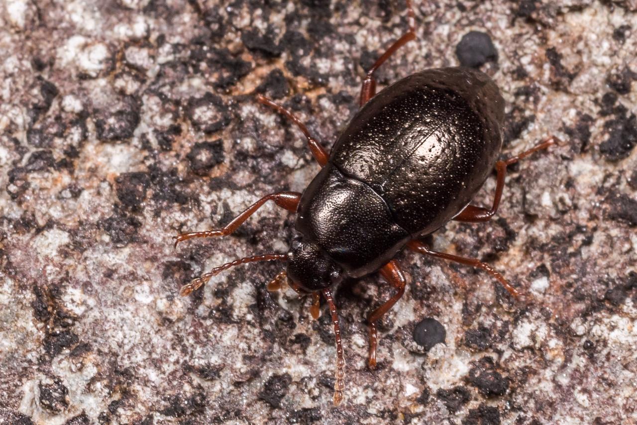 Darkling beetle (Cerodolus chrysomeloides). Gouland Downs, Heaphy Track, Kahurangi National Park.
