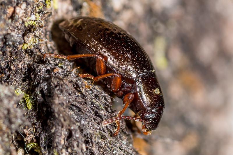 Darkling beetle (Cerodolus chrysomeloides). Awapoto Hut, Abel Tasman National Park.