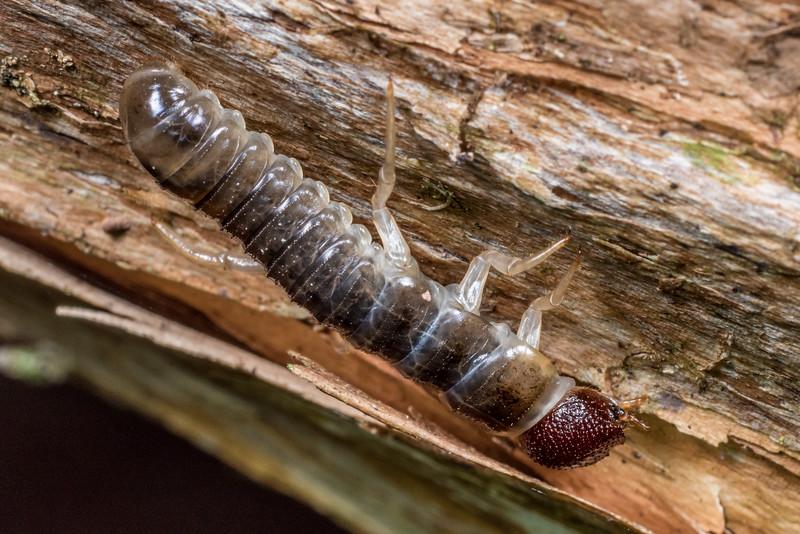 Darkling beetle larva (Family Tenebrionidae). Flora Hut, Kahurangi National Park.