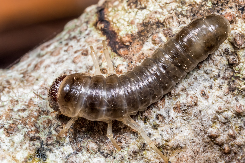 Darkling beetle (Tenebrionidae) larva. Three Pointer, Heaphy Track, Kahurangi National Park.