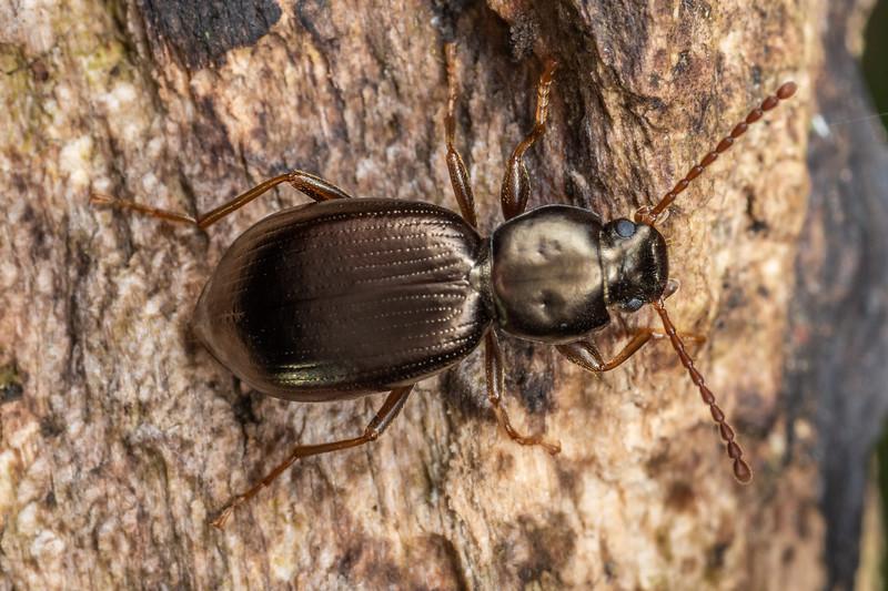 Darkling beetle (Kaszabadelium aucklandicum). Dawson Falls, Taranaki.