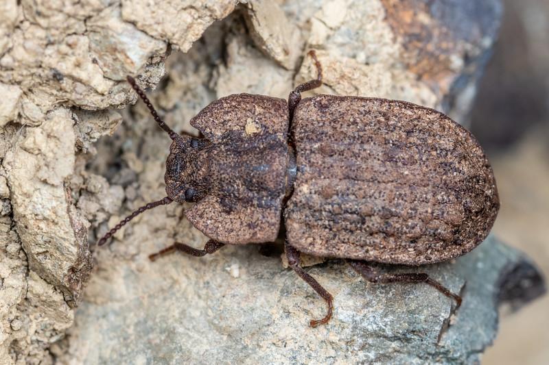Darkling beetle (Mitua tuberculicostata). Brook Waimarama Ecosanctuary, Nelson.