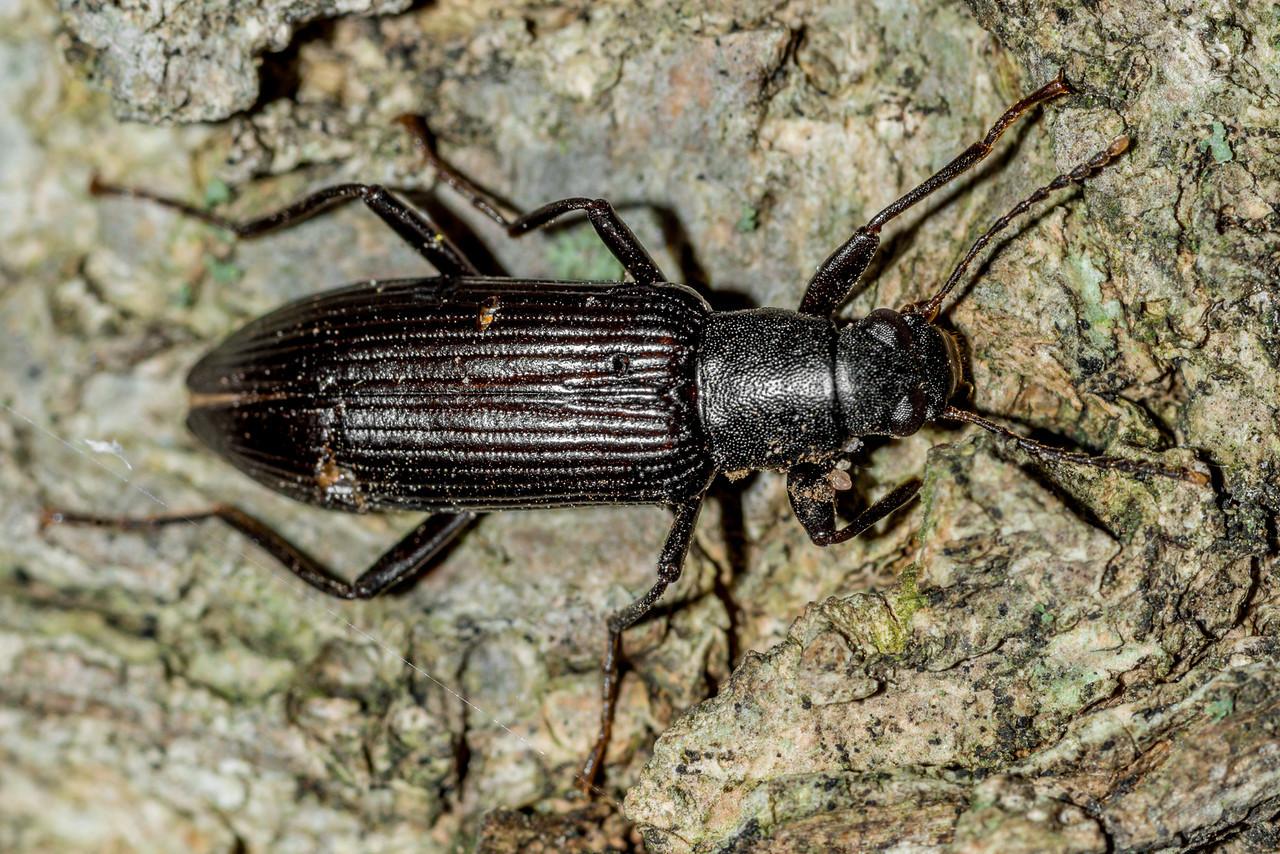 Darkling beetle (Strongylium tenuicolle). St Croix Falls, WI, USA.