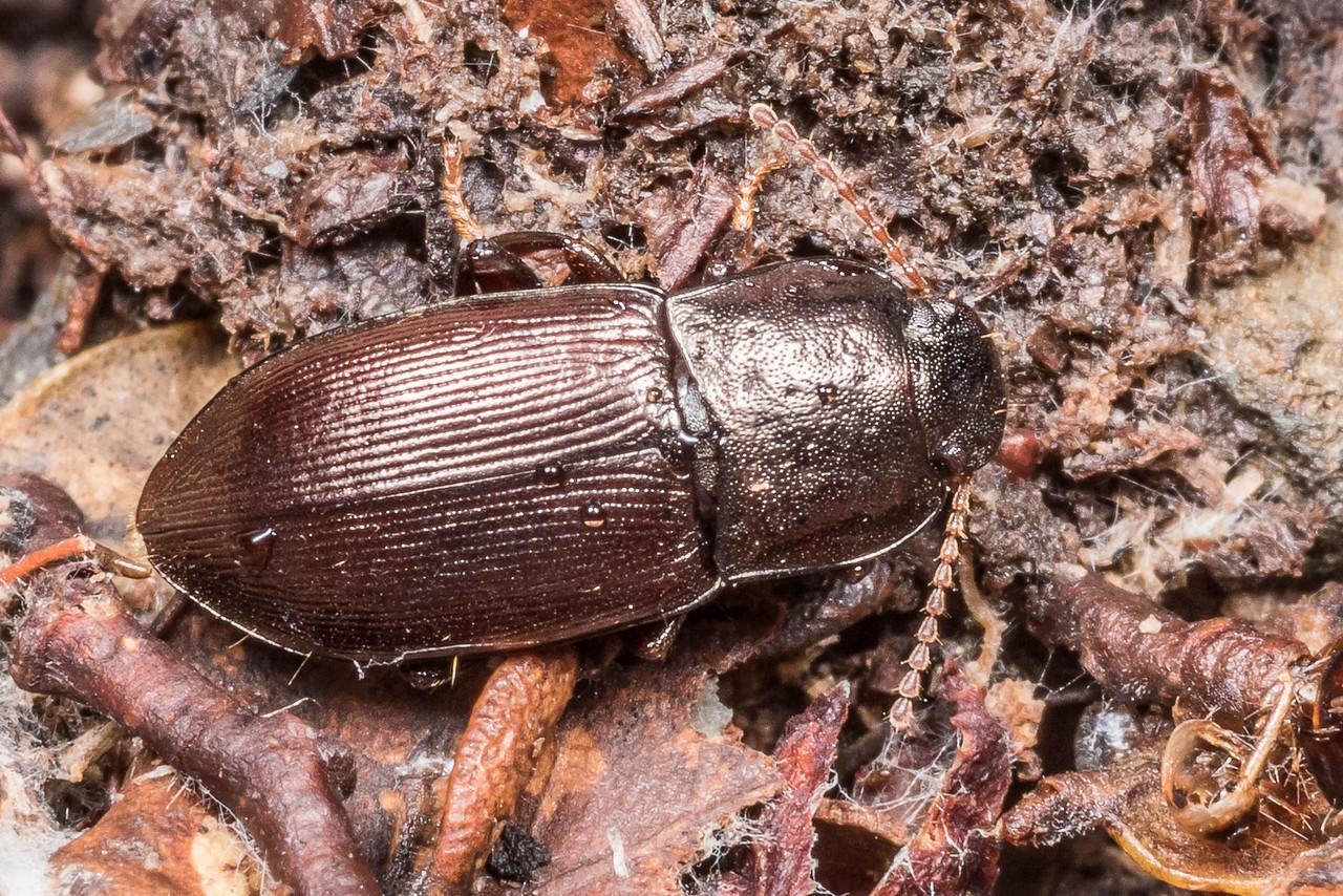 Darkling beetle (Zeadelium arthurense). Flora Hut, Kahurangi National Park.
