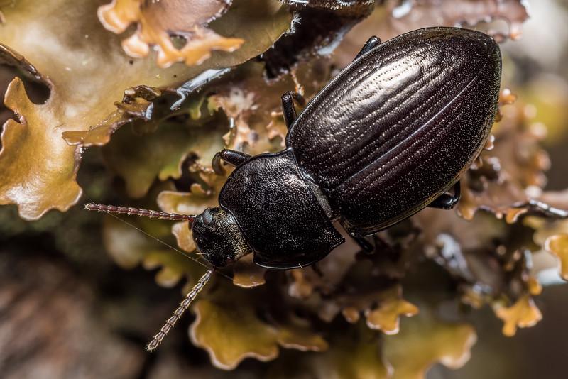 Darkling beetle (Zeadelium bullatum). McLennan Hut, Catlins Forest.