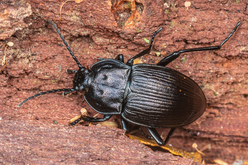Darkling beetle (Zeadelium hanseni). Lake Hankinson Hut, Fiordland National Park.