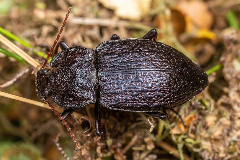 Darkling beetle (Zeadelium intricatum). Buckland Peaks, Paparoa Range.
