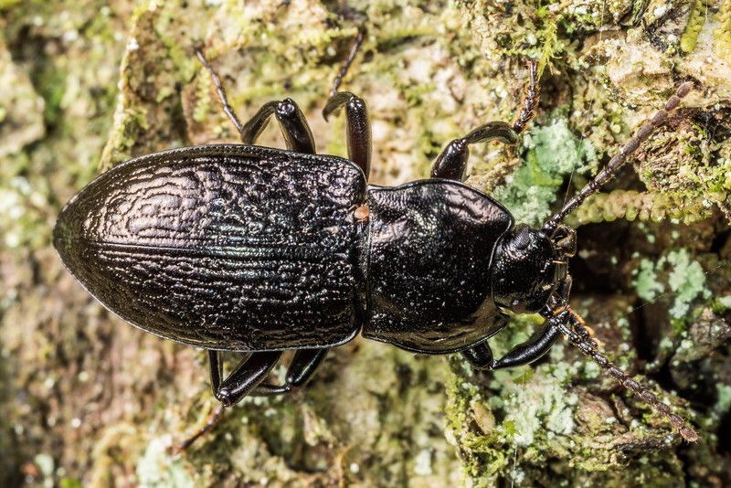 Darkling beetle (Zeadelium intricatum). Matukituki River East Branch, Mount Aspiring National Park.
