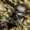 Darkling beetle (Zeadelium intricatum). Matukituki River East Branch, Mount Aspiring National Park.