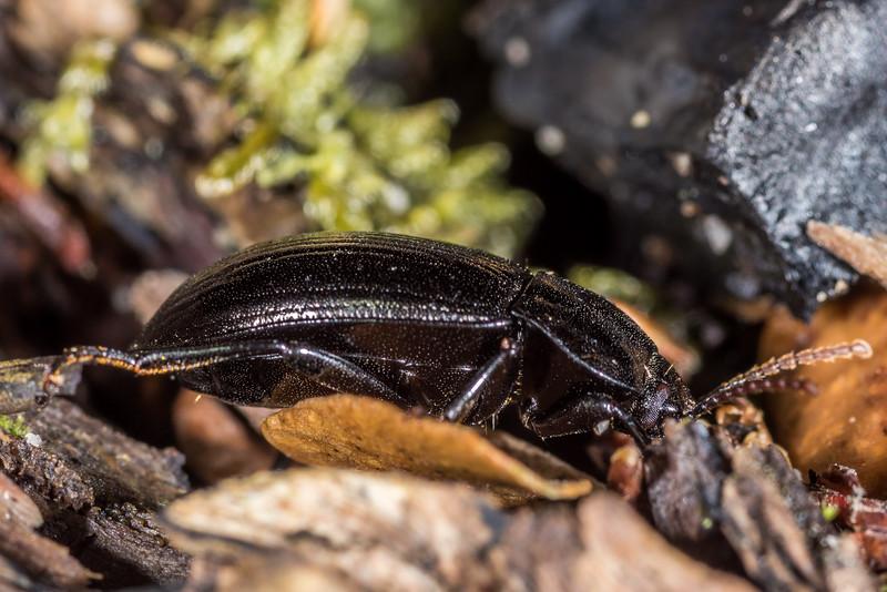 Darkling beetle (Zeadelium nigritulum). Shallow Bay, Lake Manapouri, Fiordland National Park.