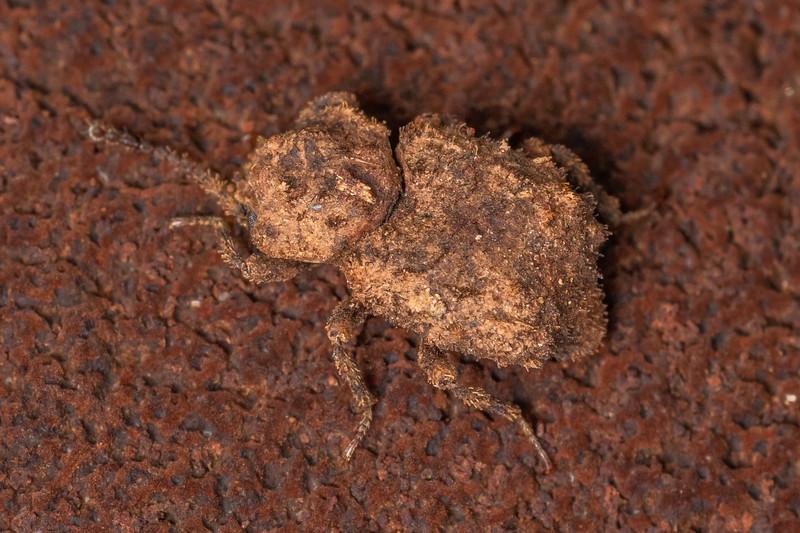 Brouniphylax squamiger. Awatiro Farm, Waitomo.
