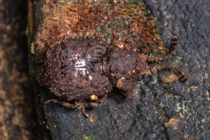 Small beetle (Brouniphylax spp.). Te Whare Okioki, Kaimai Range, Waikato.