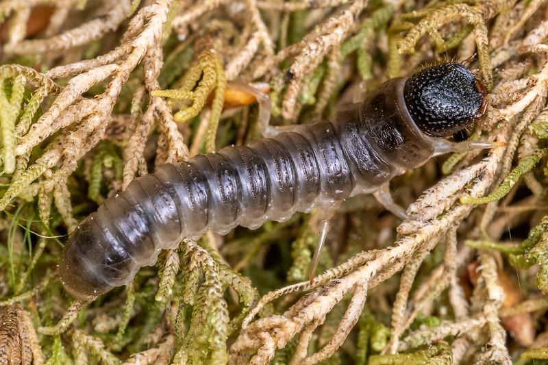 Beetle larva. Buckland Peaks, Paparoa Range.