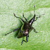 Black spined weevil (Scolopterus penicillatus). Opoho, Dunedin.