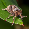 Weevil (Mesoreda sulcifrons). Opoho, Dunedin.