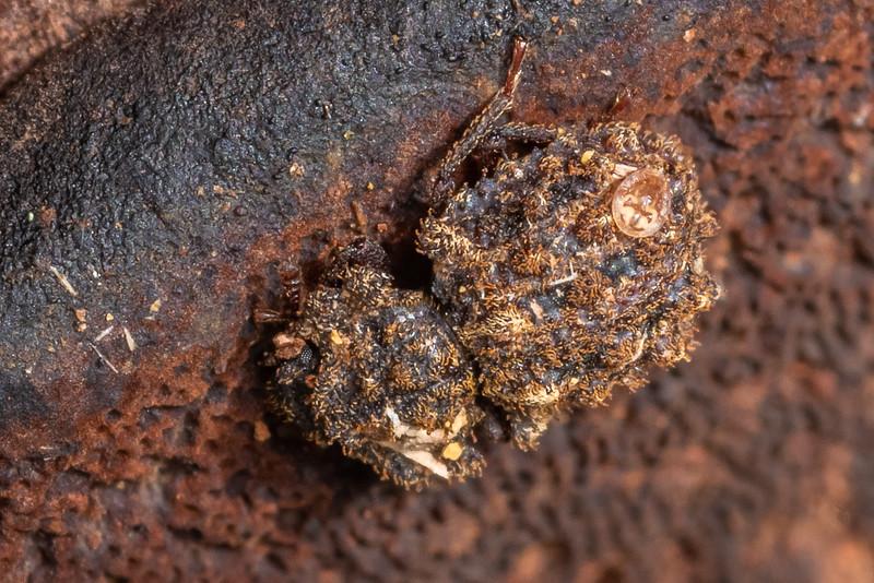 Cylindrical bark beetle (Pristoderus antarcticus). Awatiro Farm, Waitomo.