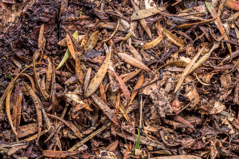 Cylindrical bark beetle (Tarphiomimus undosus). Opoho, Dunedin.