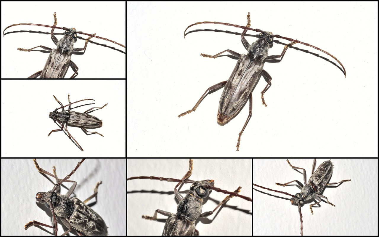 Longhorn beetle, Pachydissus sericus (Newman 1838), fimale