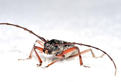 Церамбицина из рода Pachydissus, Longhorn beetle