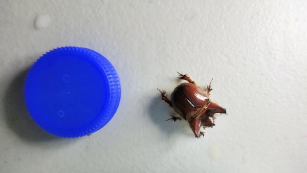Pseudoryctes. Limmen National Park, NT, Australia. September 2013