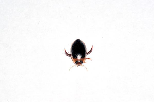 Hydaticus fabricii-group, male. Darwin, NT, Australia. April 2011