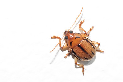 Chrysomelidae, Eumolpinae, Rhyparida sp. Darwin, NT, Australia. June 2011