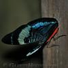 Butterfly (sp?)