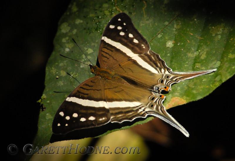 Crethon Daggerwing (Marpesia crethon)