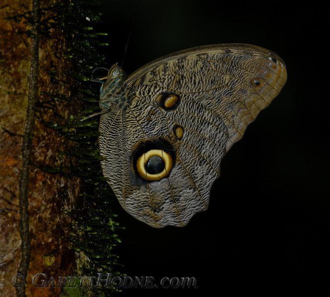 Owl Butterfly A (Caligo sp.1)